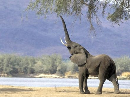 Обои Слон на берегу реки, подняв хобот, тянется к листьям на ветке дерева