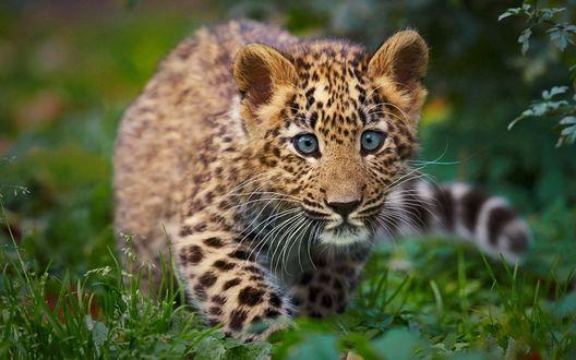 Обои Детеныш леопарда с голубыми глазами
