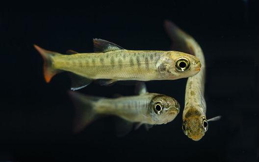 Золотая рыбка анимация на черном фоне