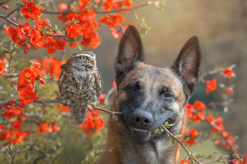Обои Сова сидит на цветущей ветке, которую держит в пасти пес, фотограф Tanja Brandt