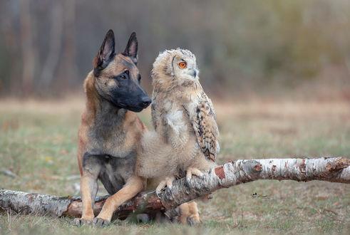 Обои Сова и пес сидят рядом, фотограф Tanja Brandt