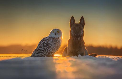 Обои Сова и пес сидят рядом на фоне заката, фотограф Tanja Brandt