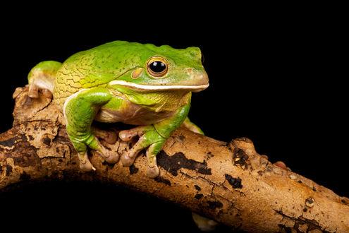 Обои Зеленая лягушка сидит на ветке дерева на черном фоне, фотограф Mark Bridger