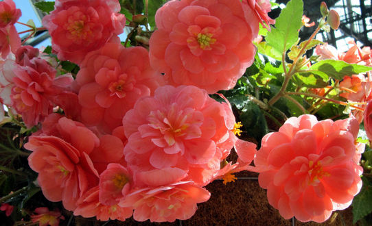 Цветок бегония с розовыми цветами