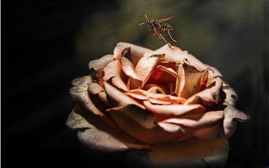 Обои Полет осы над увядающей розой