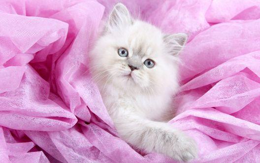 Обои Белый котенок лежит на розовой материи