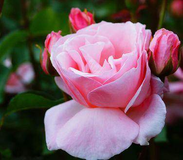Обои Розовая роза с бутонами