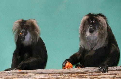 Обои Два павиана обедают