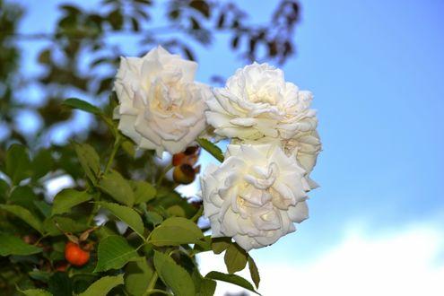 Обои Белые розы на фоне неба