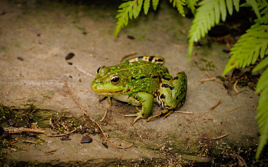 Обои Зеленая лягушка сидит на земле под кустом