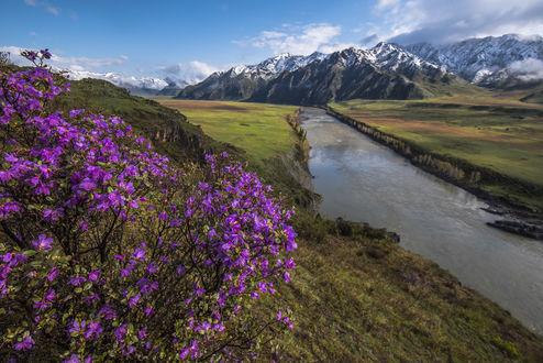 Обои Сибирская сакура на первом плане перед рекой и горами, фотограф Дмитрий Старостенков