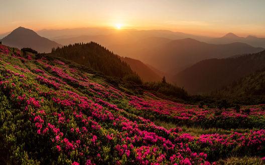Обои Цветение рододендрона в горах на рассвете