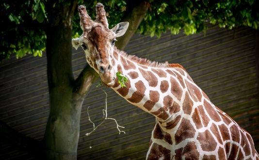 Обои Жираф с веточкой во рту