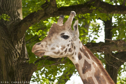 Обои Жираф на фоне дерева, by Nino C
