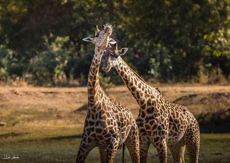 Обои Два влюбленных жирафа рядом, by Mostafa Mahran