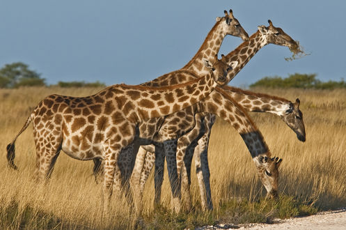 Обои Жирафы на природе, by Konstantinos Arvanitopoulos