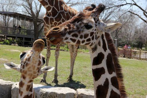 Обои Жирафы в зоопарке, by Carl DiMaria
