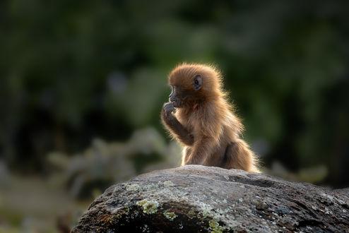 Обои Детеныш обезьяны гелада, by artamonoff2009