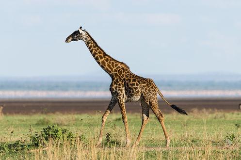Обои Жираф стоит на земле, by artamonoff2009
