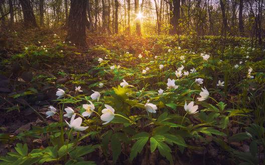 Обои Цветение ветреницы дубравной в лесу в лучах заходящего солнца. От Виталия Баштакова