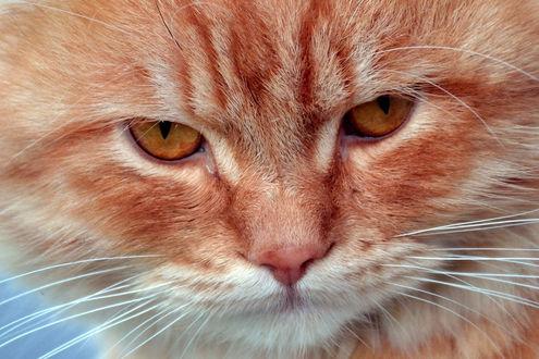 Обои Мордочка грустного кота, by F plusO
