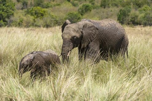 Обои Слониха со слоненком в траве, by artamonoff2009