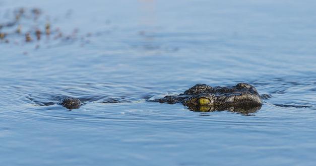 Обои Крокодил плывет по воде, виднеется голова и нос крокодила,