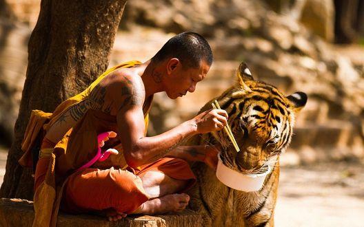 Обои Буддийский монах кормит тигра из миски, в которую был положен его обед