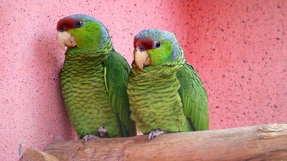 Обои Парочка зеленых попугайчиков устроилась на жердочке, на фоне розовой в крапинку стены
