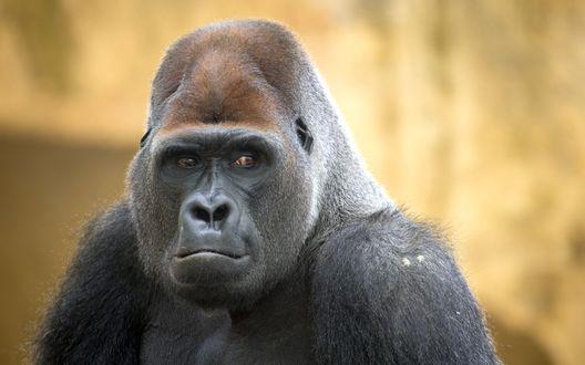 Обои Задумчивая горилла, крупным планом, на многоцветном фоне