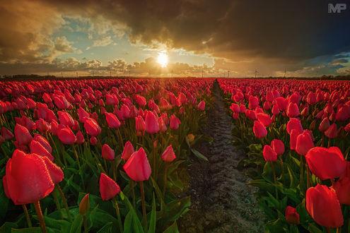 Обои Поле алых тюльпанов под облачным небом, фотограф Martin Podt