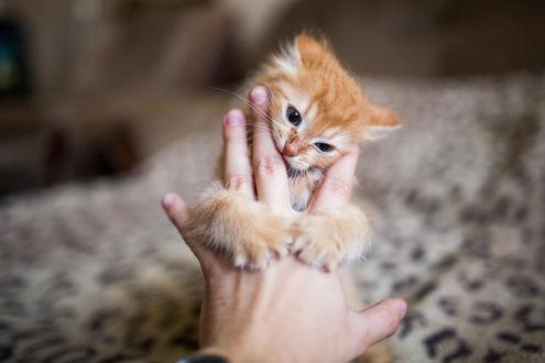 Обои Рыжий котенок обнял руку хозяина, фотограф Stepan Tretyakov