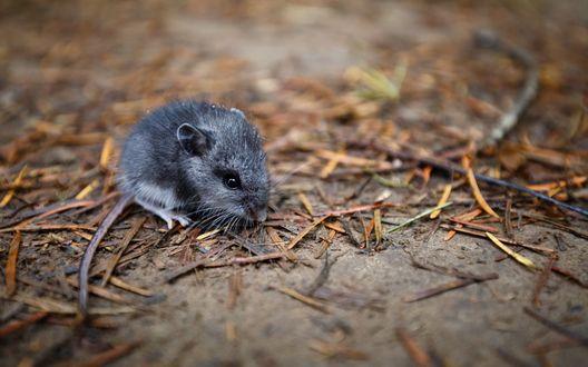 Обои Мышка полевка сидит на земле