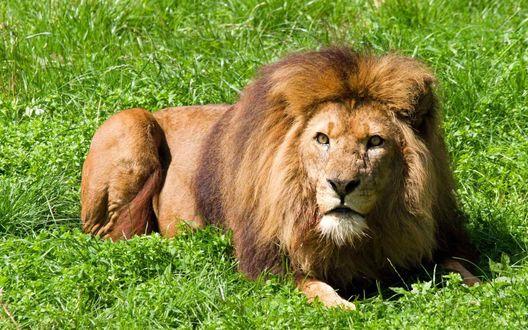 Обои Лев отдыхает на траве