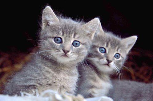 Обои Два серых голубоглазых котенка