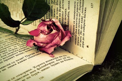 Обои Розовая роза лежит на открытой книге, by Kris-Kamikakushi