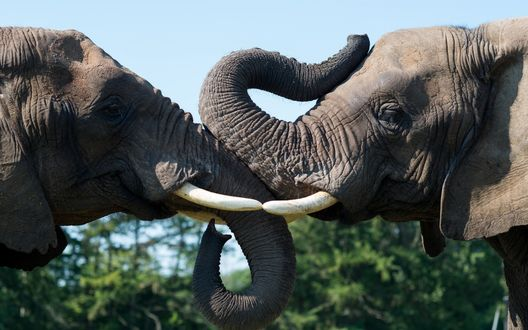Обои Слоны сцепились бивнями