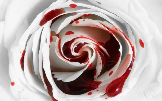 Обои Бутон белой розы в крови