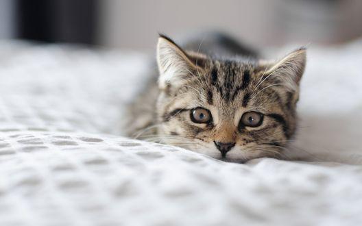 Обои Сероглазый котенок лежит, глядя на нас