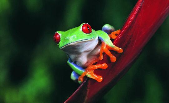 Обои Тропическая зеленая лягушка с оранжевыми лапками