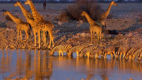 Обои Жирафы и зебры у водоема пьют воду