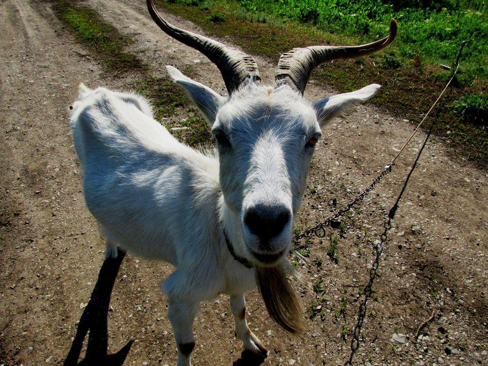 Обои для рабочего стола Деревенская коза стоит на дорожке