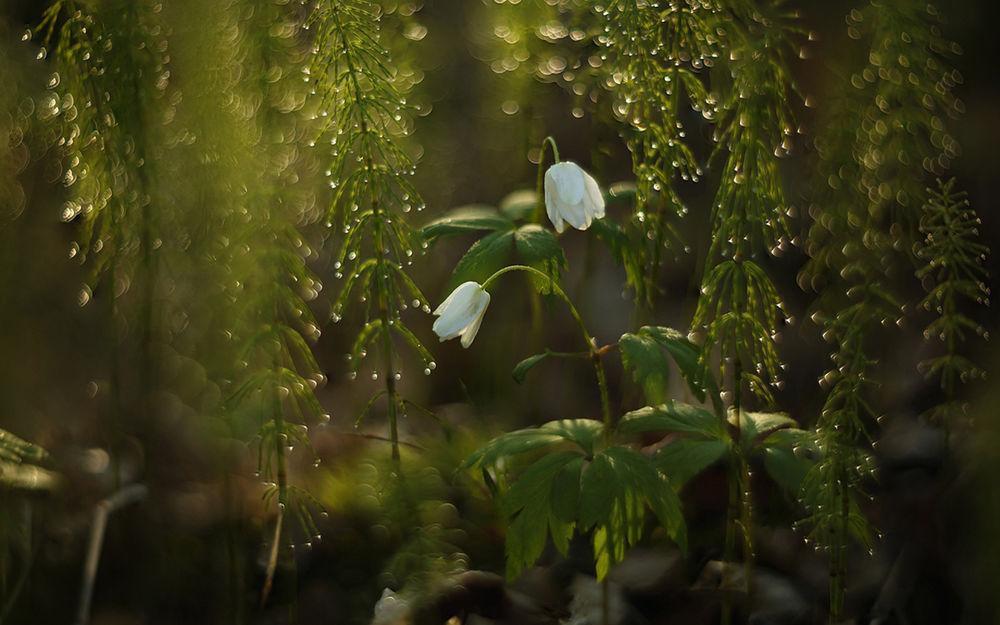 Обои для рабочего стола Цветок ветренницы дубравной среди зарослей хвоща. От Таня She