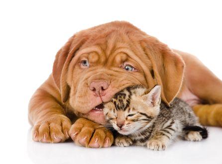 Обои Щенок породы бордоский дог, лежит рядом с котеночком и грызет его ушко