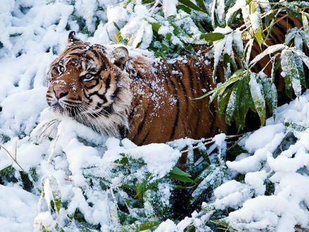 Обои Тигр стоит среди заснеженных веток с зелеными листьями