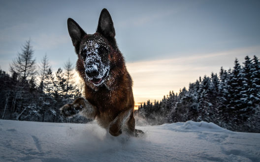 Обои Немецкая овчарка бежит по снегу