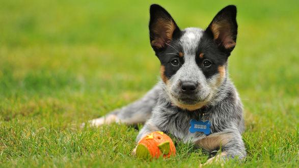 Обои Пятнистый пес с мячиком лежит на траве