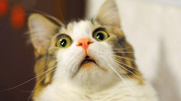 Обои Мордочка абсолютно от чего-то ошалевшей кошки, крупный план