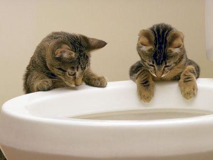 Обои Парочка любопытных котят, исследует некий предмет в туалете
