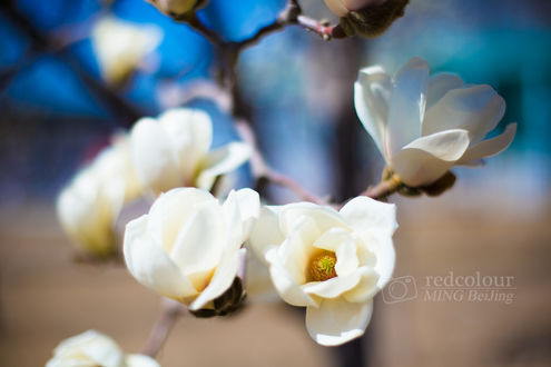 Обои Белая цветущая магнолия, фотограф Liu MingYang